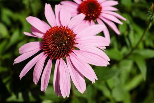 AWA herbs Echinacea květ 100g