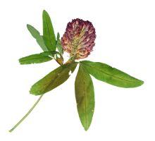 AWA herbs Jetel luční červený květ 60g
