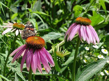 AWA herbs Echinacea nat 100g