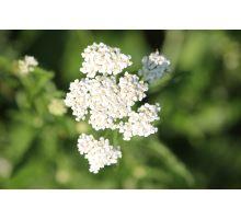 AWA herbs Řebříček obecný květ 100g